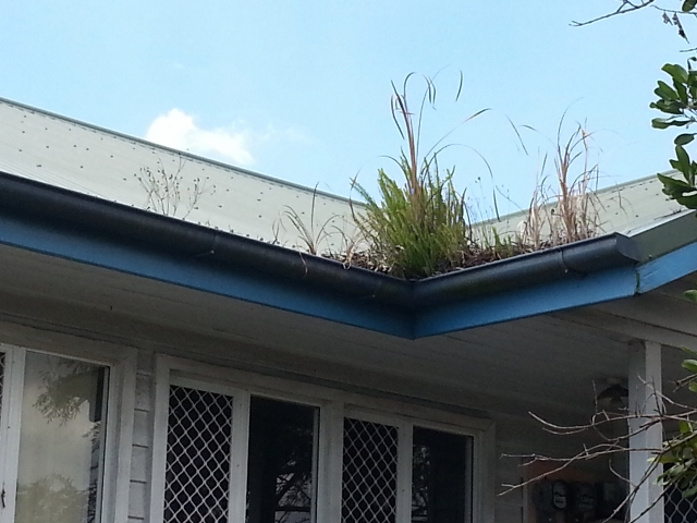 Bush growing out of gutter