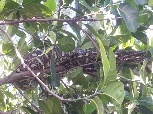 snake relocated to overhanging tree - the things we do...