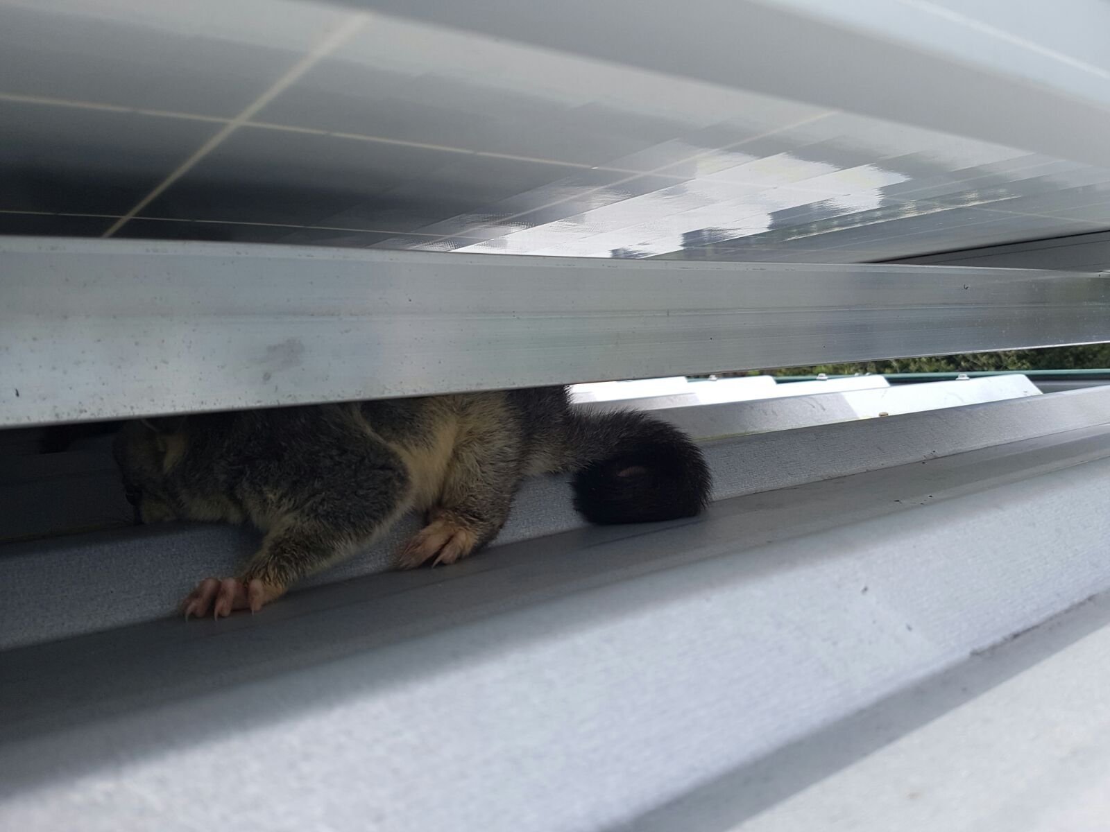 Possum hiding under solar panel