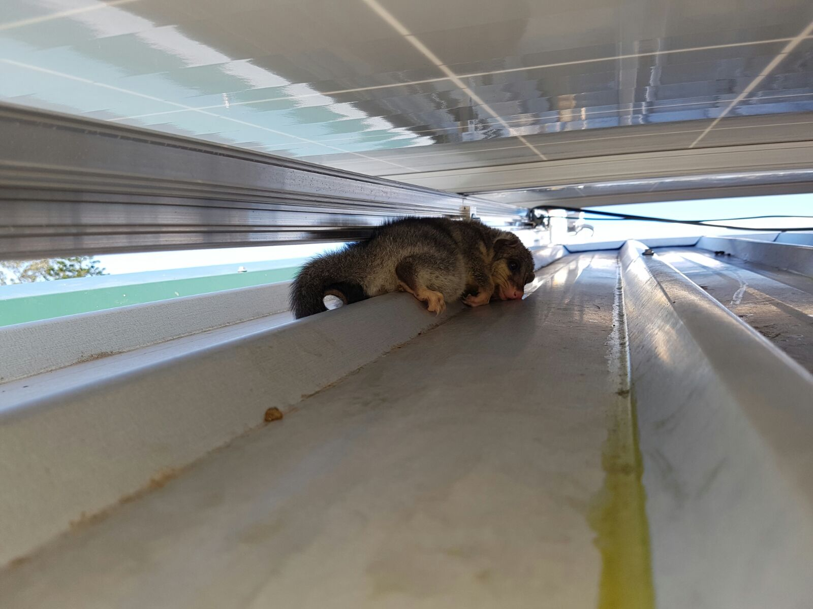 possum under solar panels